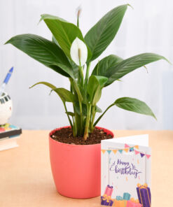 Peace Lily - Potted plant Gift